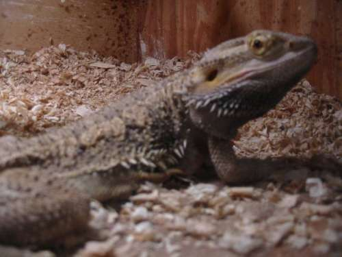 bearded dragon information and pictures pogona vitticeps